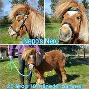 Shetlænder Nepos nero