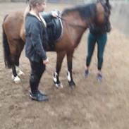 Welsh Pony af Cob-type (sec C) Gribvads dolly