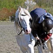 Welsh Pony (sec B) Cadlanvalley Moonlight  (GBR) Aka Valli.