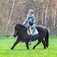 Islænder Bára fra Stiesholm [Lama]