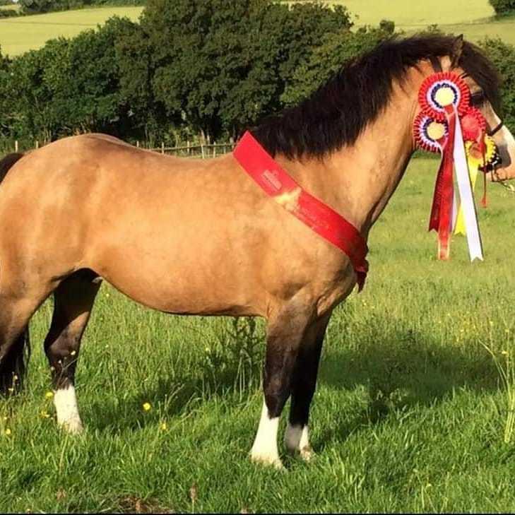 Welsh Pony af Cob-type (sec C) Pwllmelin Moonraker  billede 3