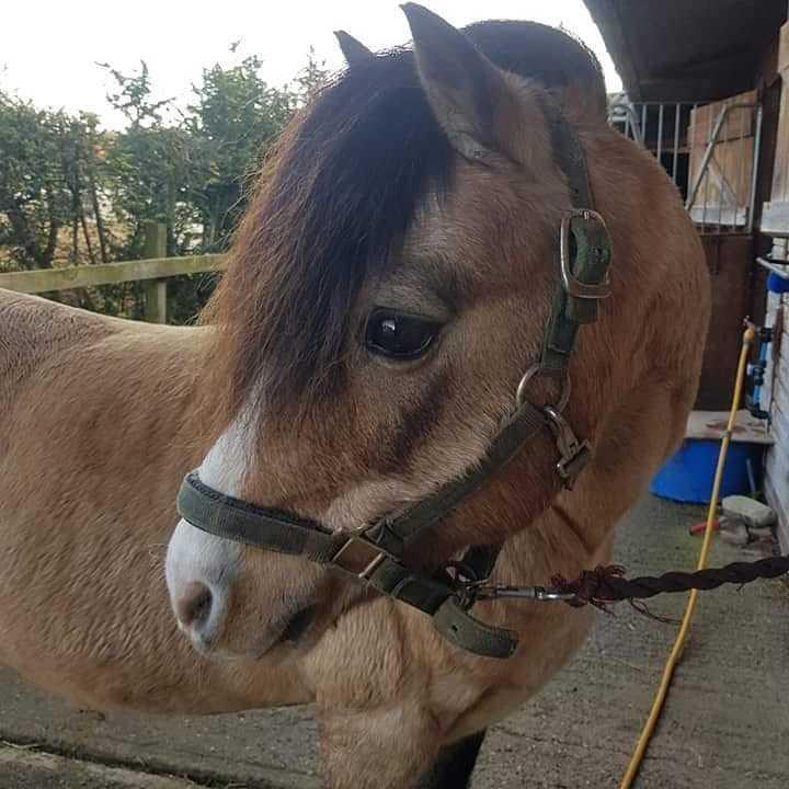 Welsh Pony af Cob-type (sec C) Pwllmelin Moonraker  billede 4