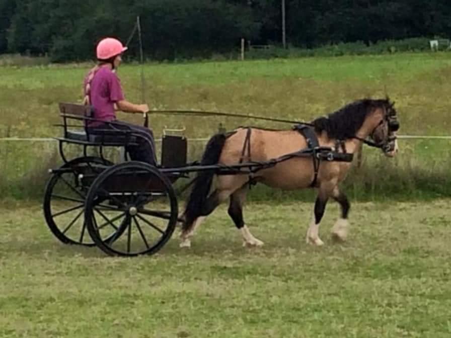 Welsh Pony af Cob-type (sec C) Pwllmelin Moonraker  billede 6