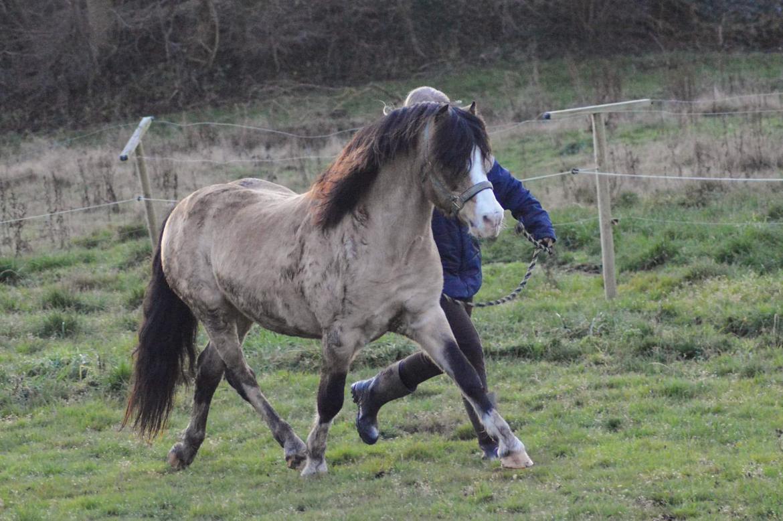Welsh Pony af Cob-type (sec C) Pwllmelin Moonraker  billede 8