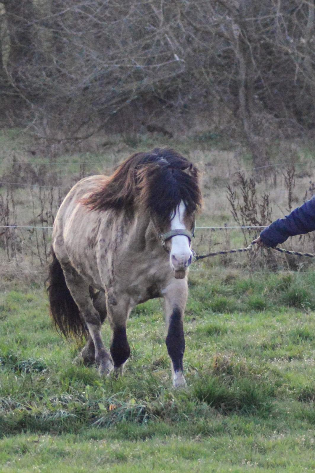 Welsh Pony af Cob-type (sec C) Pwllmelin Moonraker  billede 9