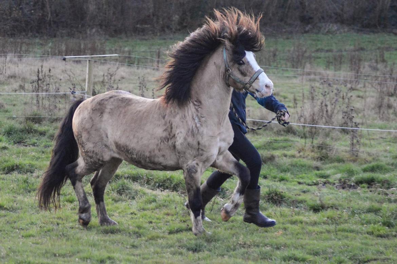 Welsh Pony af Cob-type (sec C) Pwllmelin Moonraker  billede 11