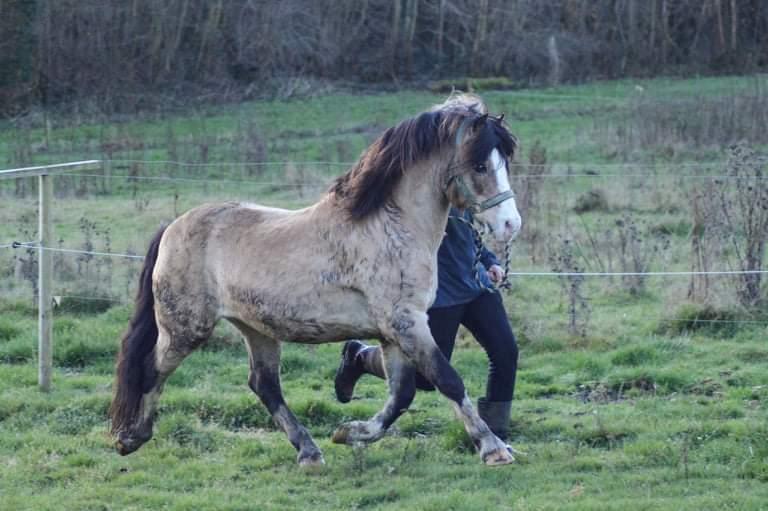 Welsh Pony af Cob-type (sec C) Pwllmelin Moonraker  billede 12