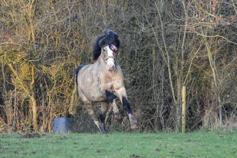 Welsh Pony af Cob-type (sec C) Pwllmelin Moonraker  billede 13