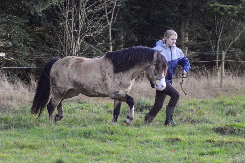 Welsh Pony af Cob-type (sec C) Pwllmelin Moonraker  billede 10