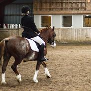 Welsh Pony af Cob-type (sec C) Noerrelide's Northern Light