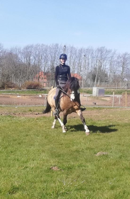 Welsh Pony af Cob-type (sec C) Pwllmelin Moonraker  billede 16
