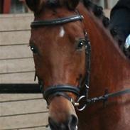 New Forest Egeballes J.R. B-pony