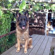 Mine 3 scgæferhunde 2010