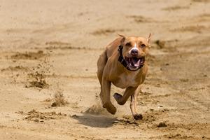 Sådan spiller du på greyhound racing