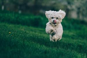 Vidste du, at du kan bruge CBD olie til din hund?