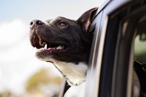 Ferie med hund: hvad gør du?