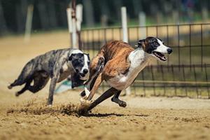 Hundevæddeløb - alt om den fede og oversete sport