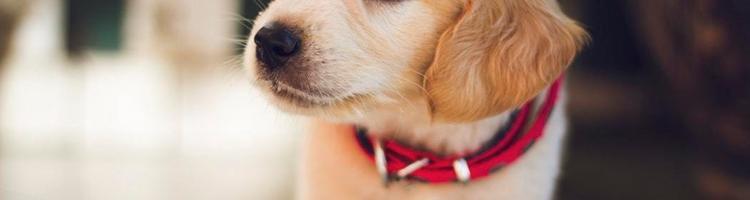 Vær godt forberedt inden du køber hund