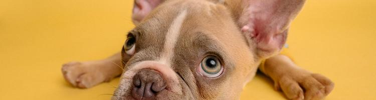 2 gode hunderacer til dig der bor i lejlighed