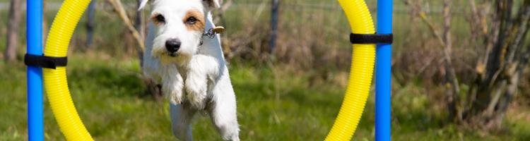 Sådan klargør du din have til agility med din hund