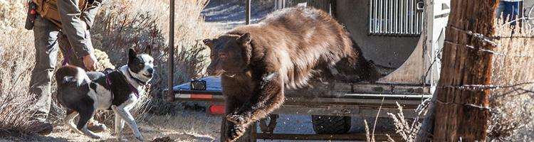 Danser med bjørne