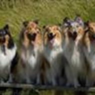 Lapinette collies  .