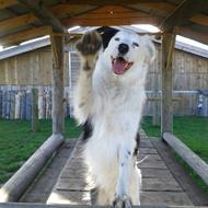 Veronika -ejer af to skønne hyrdehunde