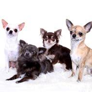Mighty Heart Chihuahuas