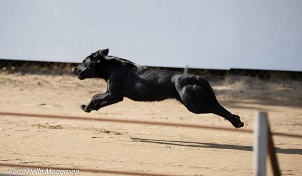 Labrador kan flyve!