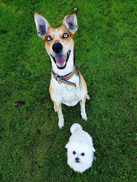 hvorfor ruller hunde sig i døde dyr
