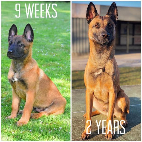Fra hvalp til nu - hvordan er din hunds udvikling? :)