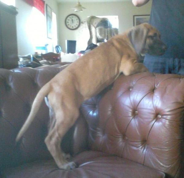 Hvilket hundefoder til hvalp? - Grand Danois