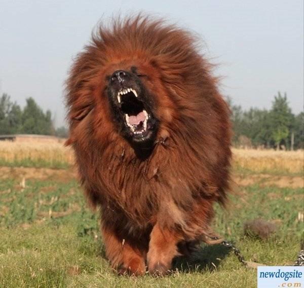 hund som ligner pa rev