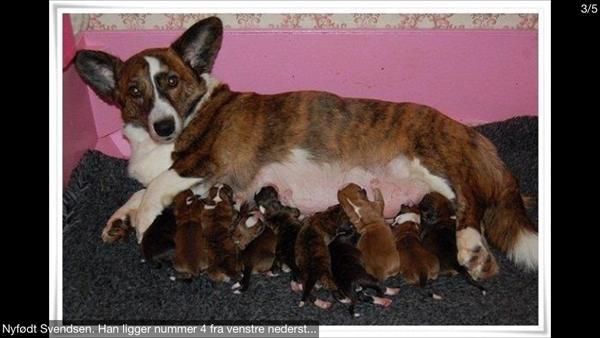 hvor mange hvalpe får en chihuahua