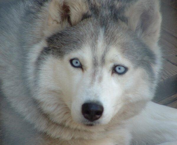 hund blå øjne