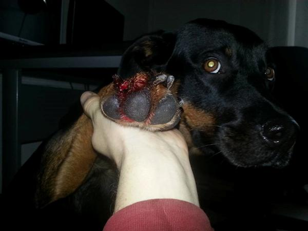 flækket negl hund