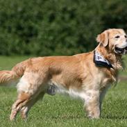 Golden retriever Nickie *Himmelhund*