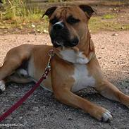 Amerikansk staffordshire terrier Cosmo (Tyson) R.I.P 30-6-2011