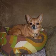 Chihuahua * Sasha, slikmutter*