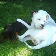 Amerikansk bulldog Thiti (R.I.P.)