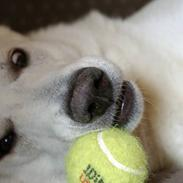 Hvid Schweizisk Hyrdehund Gilbert  RIP 05-08-2011