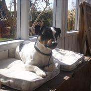 Jack russell terrier monty SOLGT :'(