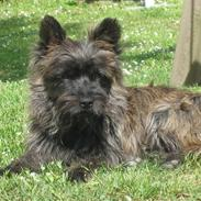 Cairn terrier laurits