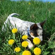 Australsk cattledog Anton *Himmelhund*