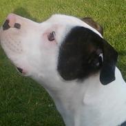 Amerikansk bulldog Freja
