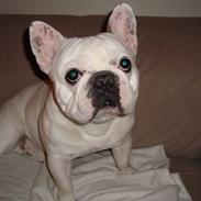 Fransk bulldog Muggi
