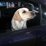 Labrador retriever Chiska