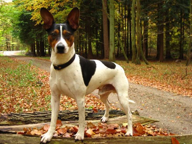 dansk gårdhund