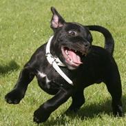 Staffordshire bull terrier Niels