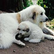 Pyreneerhund Sandybear's Esibelle